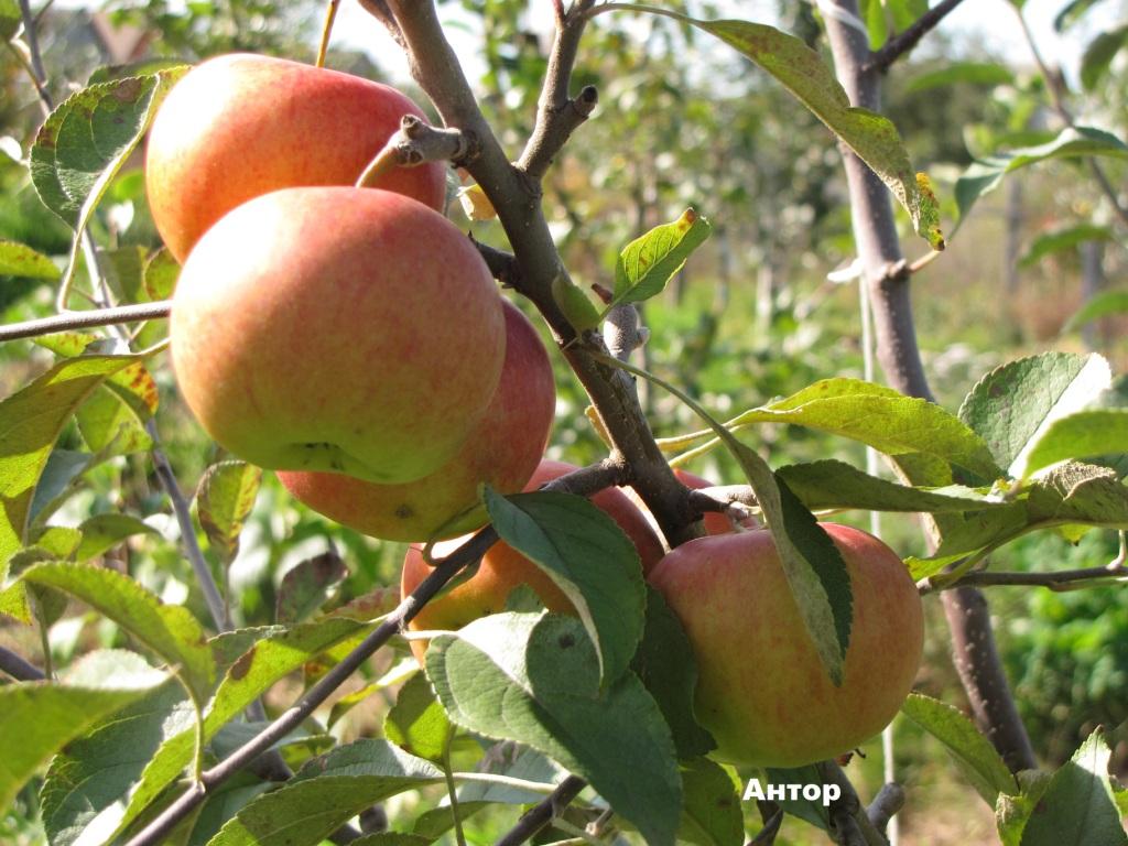 Яблоко подарок графскому 100