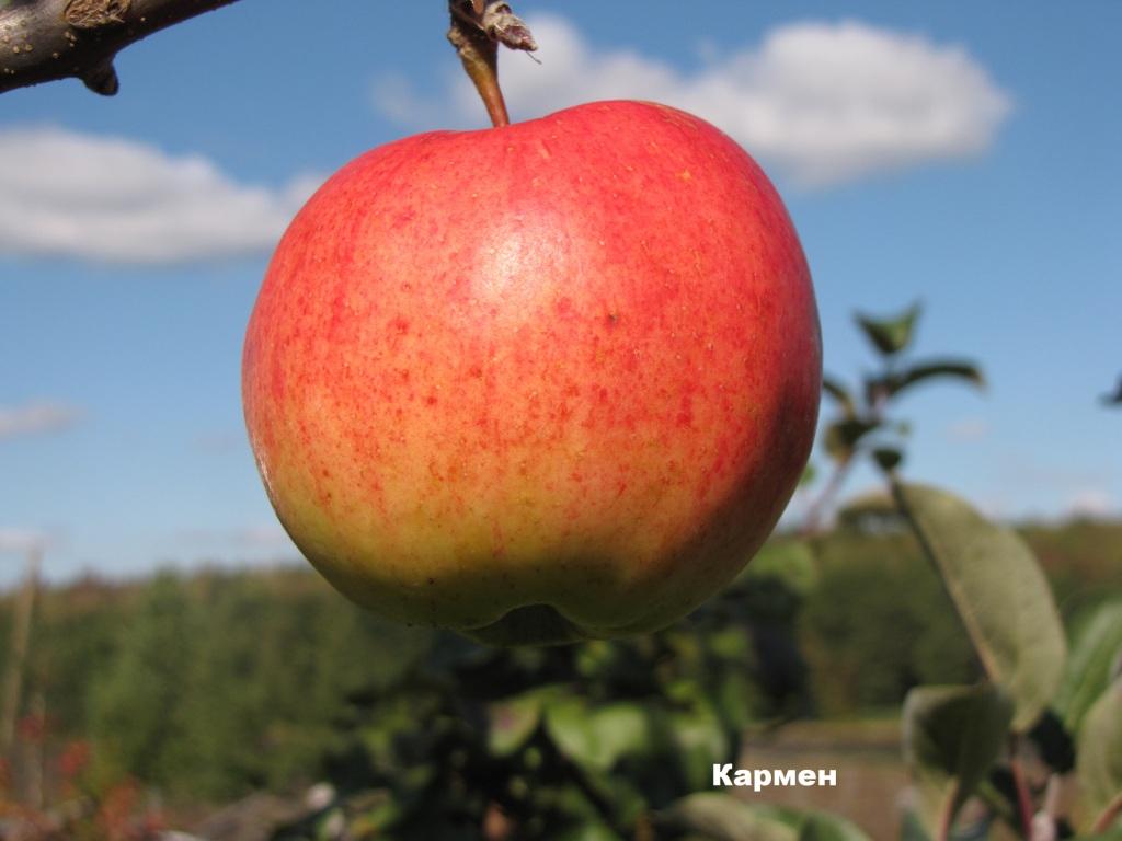 Яблоко подарок графскому 85